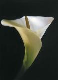Bastet - Calla Collection - White Last Calla