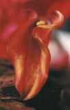 Bastet - Calla Collection - Die Offenbarung der Venus